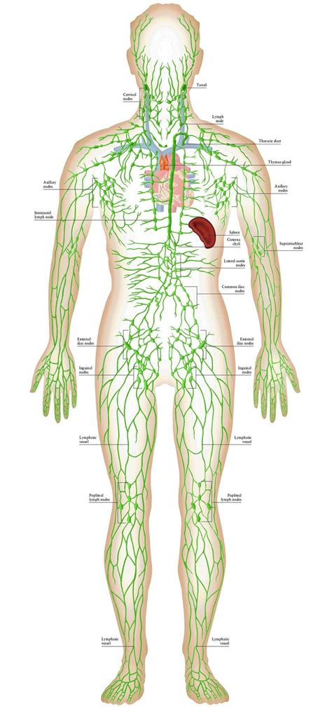 Bromine Detox Swollen Lymph Nodes by Best 25 Lymphatic System Ideas On Detox