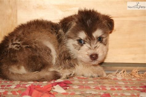 siberpoo puppies for sale mixed other puppy for sale near bowling green kentucky e1d8ed27 dfe1