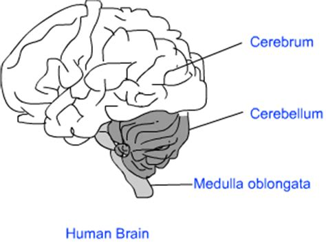 science diagrams of class 10 human brain and coordination class ten