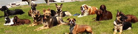 trained therapy dogs for sale protection obedience therapy cleveland ohio