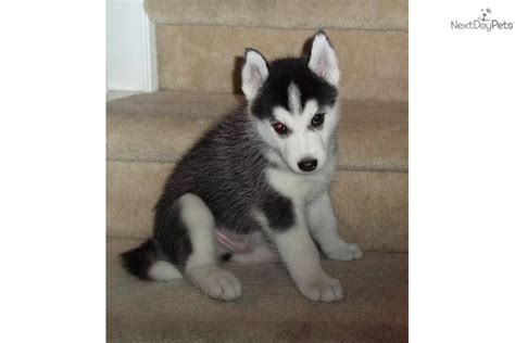husky puppies for sale in houston siberian husky puppy for sale near houston 0e42ccef 17c1