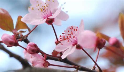 fiori ciliegio significato dei fiori di ciliegio nel linguaggio dei fiori