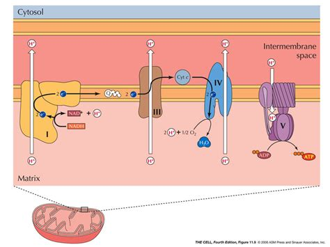 cell biology     gradient  mitochondria