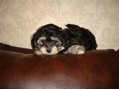 epupz shih tzu bichon havanese puppies for sale uk breeds picture
