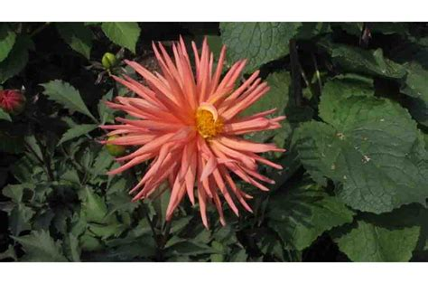 fiori facili da coltivare fiori facili da coltivare la dahlia da balcone casafacile