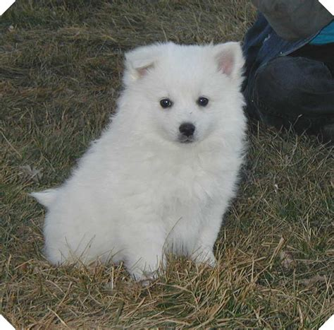 american eskimo puppies american eskimo breed information puppies pictures