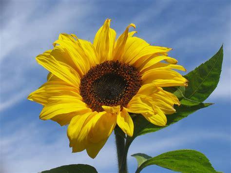 fiore di girasole dalle leggende sul girasole inventa una favola libera i