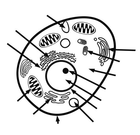 printable animal cell diagram quiz animal cell unlabeled clipart best