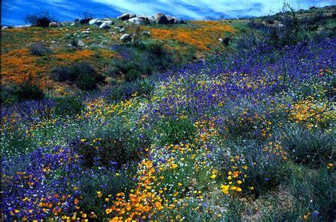 california desert flowers sonoran desert sonoran desert region