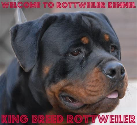 king rottweilers king breed rottweiler