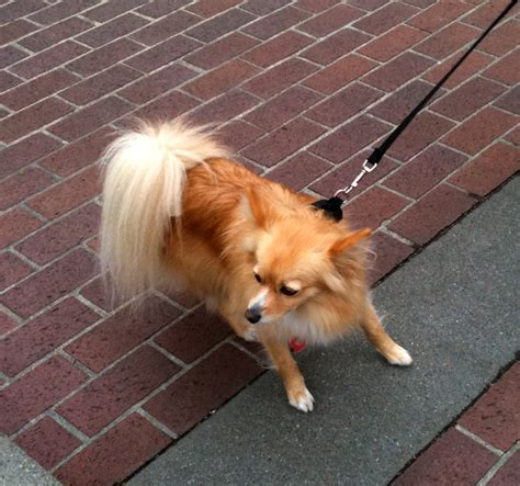 papillion tail how long to keep hair dog of the day long haired chihuahua the dogs of san