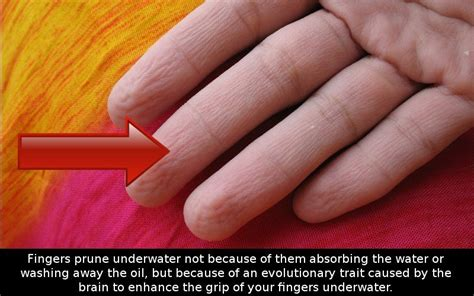 do you why your fingers wrinkle in water