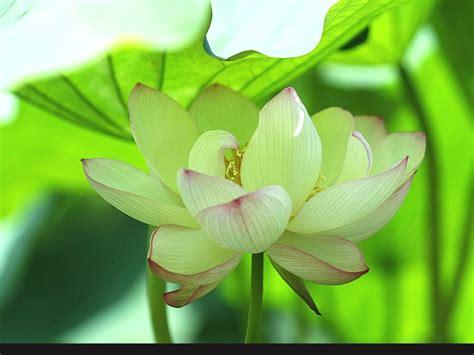 lotus flower hindu the gallery for gt buddhist symbols lotus flower