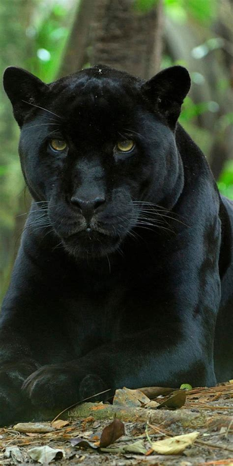 all about jaguars best 25 black jaguar ideas on panther black