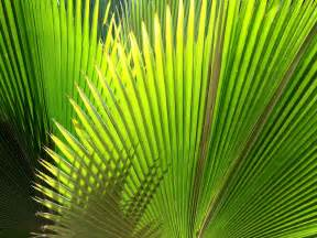 11 lovely hd palm leaf wallpapers hdwallsource com