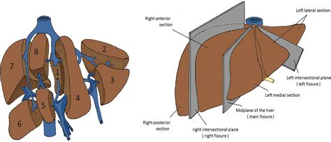Liver Sections by Segmental Oriented Liver Surgery Intechopen