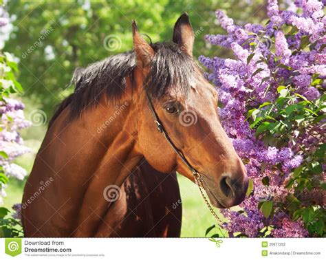 nice hourse portrait of nice horse near flowers stock photo image