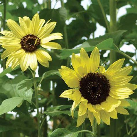 heirloom sunflower seeds