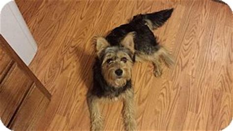australian shepherd and yorkie mix miss roxie adopted crown point in yorkie terrier australian
