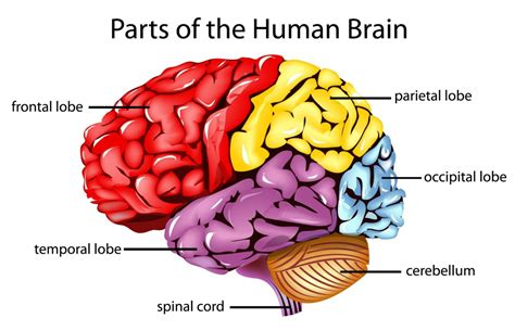 what are the four sections of the brain the human brain and its primary divisions