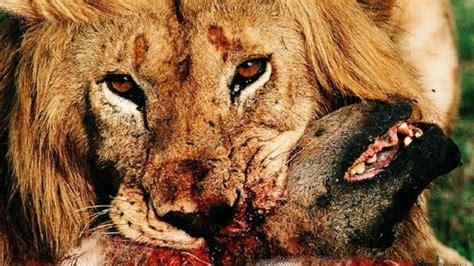 film lion vs hyena lions vs hyenas hyenas attacking lion 2017 new movie