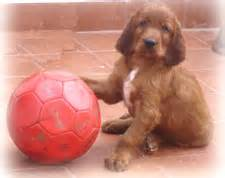 irish setter dogs for sale in bangalore picture of the week