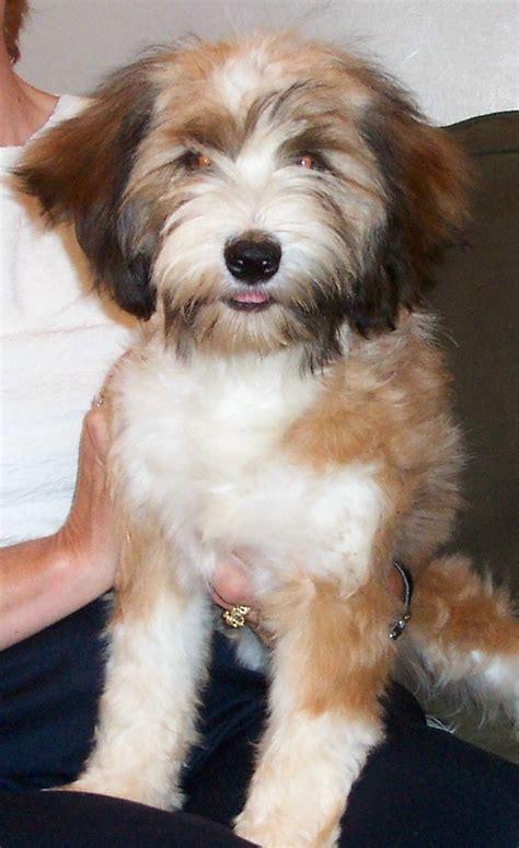tibetan terrier puppies for adoption tibetan terrier adoptions myideasbedroom