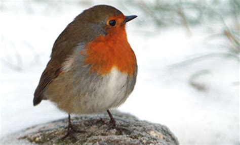 what color are robins colour in nature when is really orange