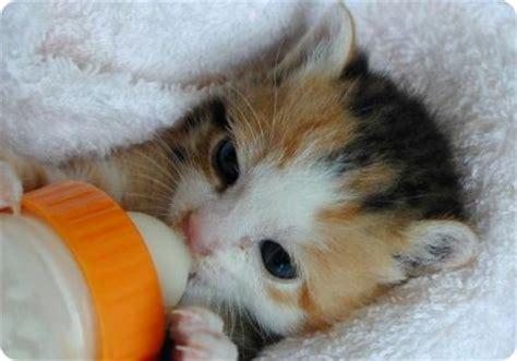 imagenes de gatitos blancas tiernas hermosas tiernas y espectaculares im 225 genes de animales