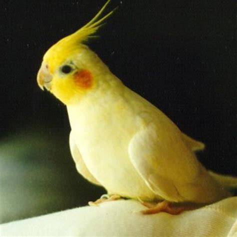 7 nice cockatiel prices in birds biological science