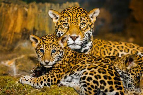 imagenes del jaguar animal detr 225 s de la naturaleza del jaguar fundaci 243 n carlos slim