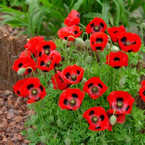 Bunga Poppy Mix Colour seeds flower seeds vegetable seeds a leading