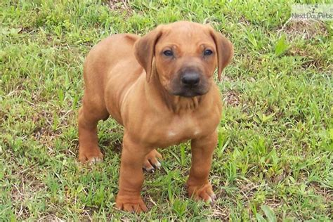 rhodesian puppy rhodesian ridgeback puppy for sale near east tx c5eb87d5 5f51