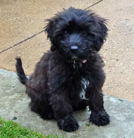 poodle terrier mix puppies black cairn terrier poodle mix breeds picture
