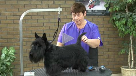 different ways to groom a scottish terrier grooming a pet scottie part 1 of 4 part series