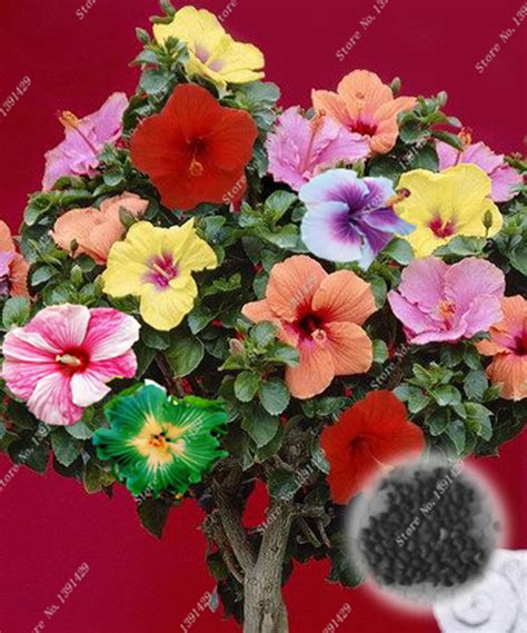Hibiscus In Planters by Popular Hibiscus Tree Plant Buy Cheap Hibiscus Tree Plant