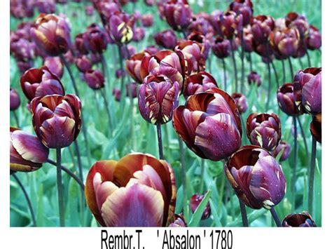 Bunga Dinding Tulip Spray nieuw leven voor oude tulpenrassen radio nederland wereldomroep quot prachtige tulpen