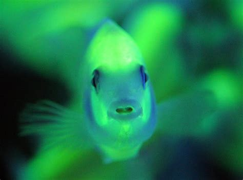 Fish Glow In The genetically modified glo fish analyzing the risks and