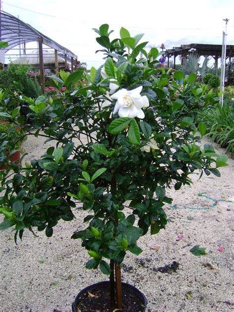 Fragrant Plants Florida - buy gardenias for sale in miami ft lauderdale