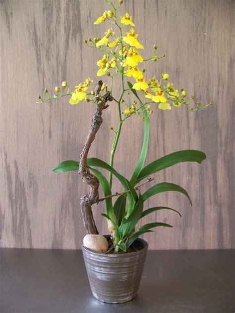 beautiful house plants photo picture 2022 sch 246 ne zimmerpflanzen die sch 246 nheit der oncidium orchidee