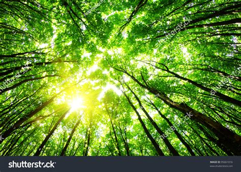 forest green green forest background sunny day stock photo 95661016