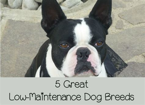 low maintenance breeds 5 low maintenance breeds for busy families dogvills