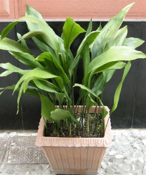 piante da interno purificano l piante da interno grandi home design e interior ideas