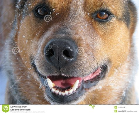 medium sized guard dogs standing guard in snow stock images image 12940114