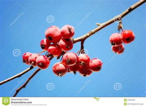 a branch of crab apple tree with bunch of fruits stock