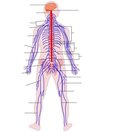 nerves of the human diagram dosya human nervous system diagram no text svg vikipedi