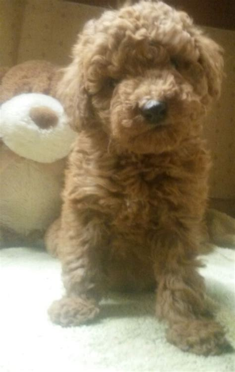 for sale illinois breeder toy poodle puppies miniature