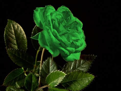 wallpaper of green rose 5206 green rose background wallpaper walops com