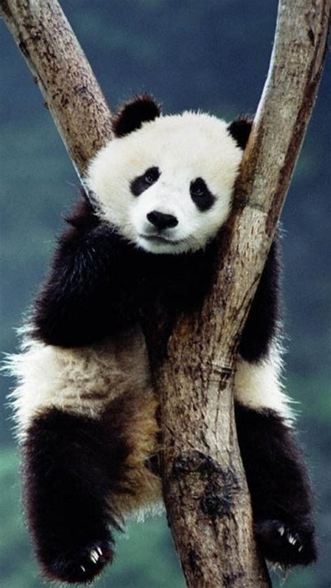 wallpaper iphone panda panda on the tree wallpaper free iphone wallpapers