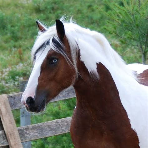 blue horses for sale in horses for sale and horses on